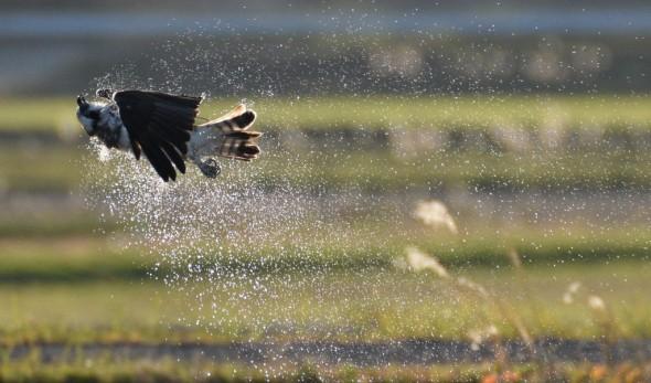 Osprey - Shake It Off!