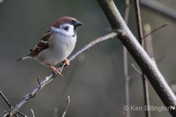 Eurasian Tree Sparrow, Passer Montanus