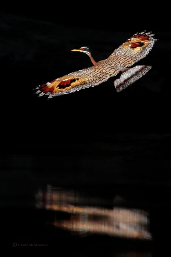 Sunbittern Flight Across the River