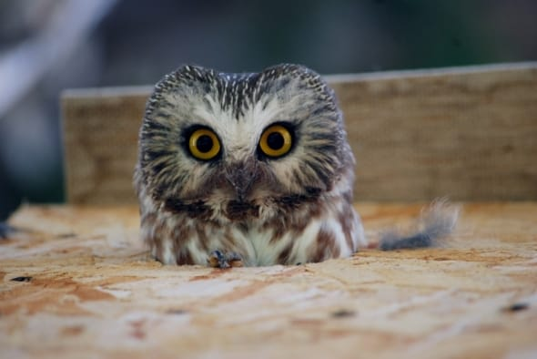 Saw Whet Owl Adult