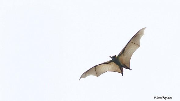 The Flying Mammal.