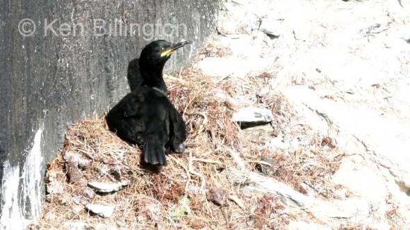 Shag (Phalacrocorax aristotelis) (02)