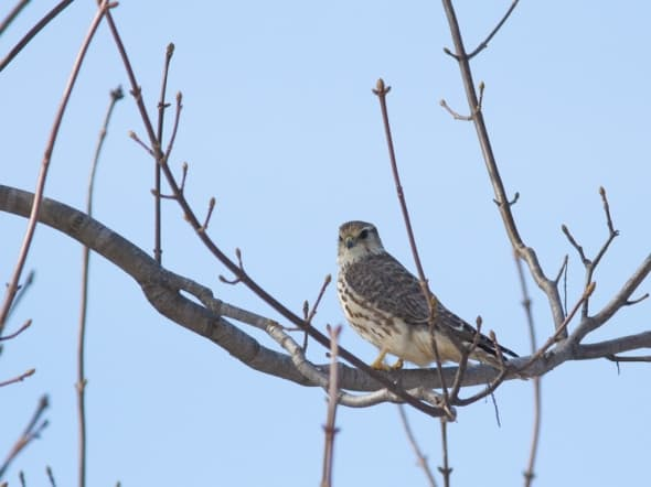 Merlin, Falco Colubarius