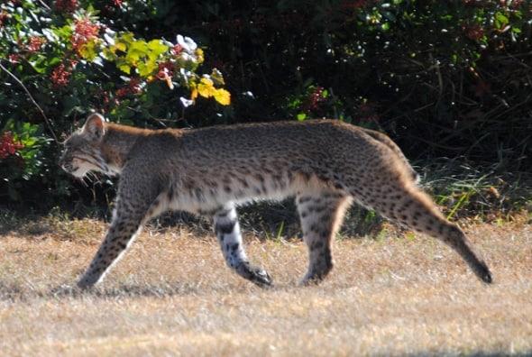 Florida Bobcat Lynx rufus