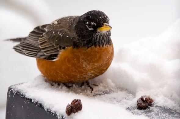 Winter Robin is Back