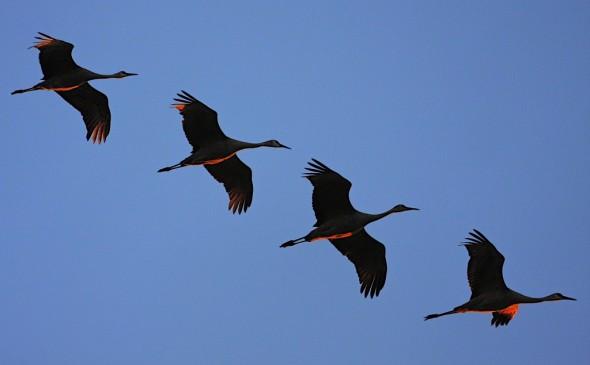 Sunrise Liftoff (Sandhill Cranes)