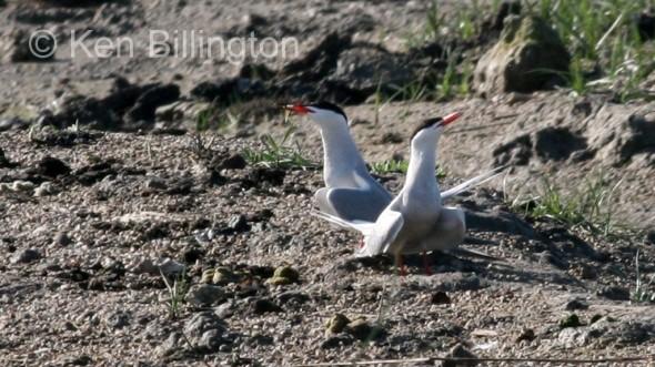 Common Tern (Sterna hirundo) (1)