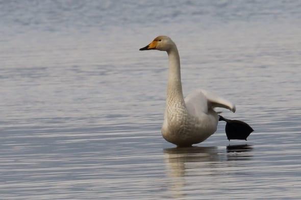 Whooper Swan Cygnus cygnus