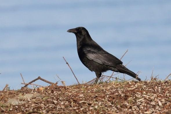 Carrion Crow Corvus corone