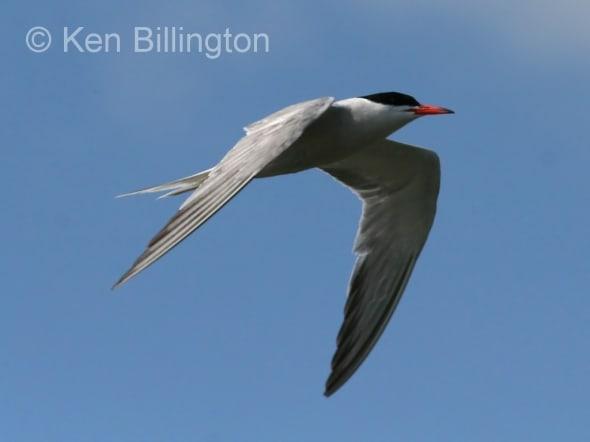 Common Tern (Sterna hirundo) (11)