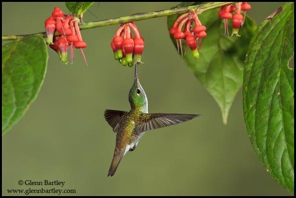 Andean Emerald Hummingbird Amazilia franciae