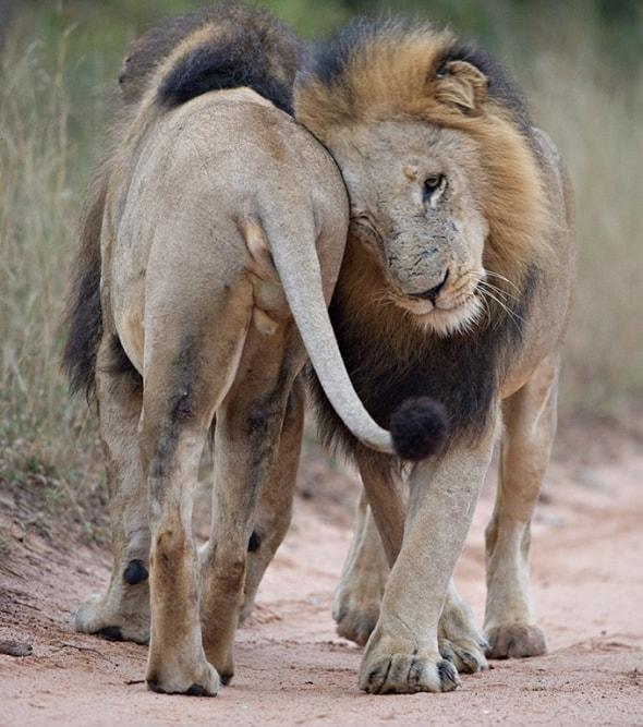 Lion Man Love