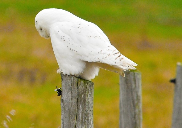 I Think - A Shy and Pensive Snowy Owl