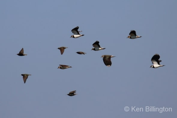 Starlings and Lapwings Race