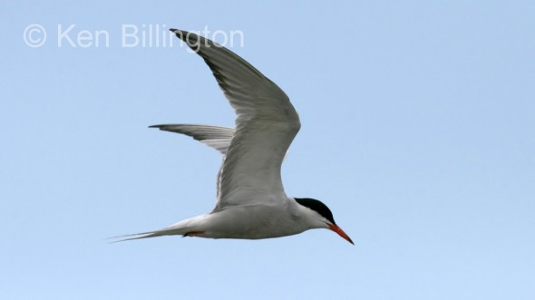 Common Tern (Sterna hirundo) (5)