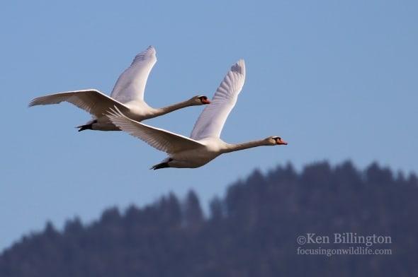 Mute Swans in Flight