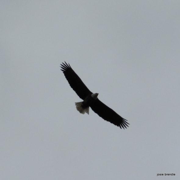 Baldheaded Eagle