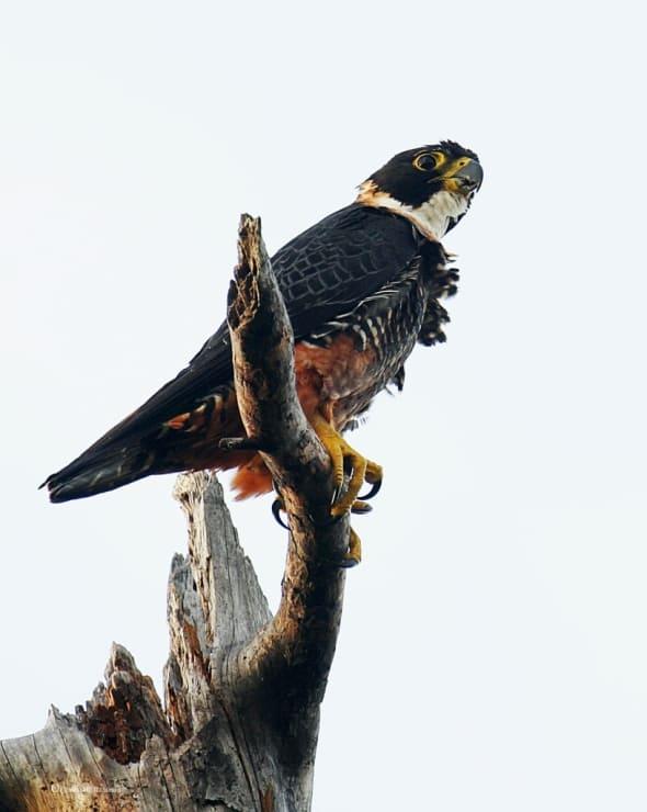 Orange-breasted Falcon - Edge of the Cliff