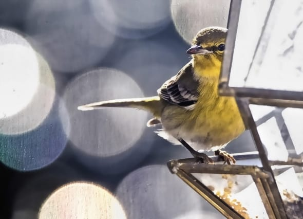 Warbler in Glass House