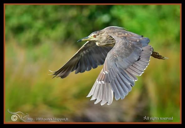 Night Heron, Immature