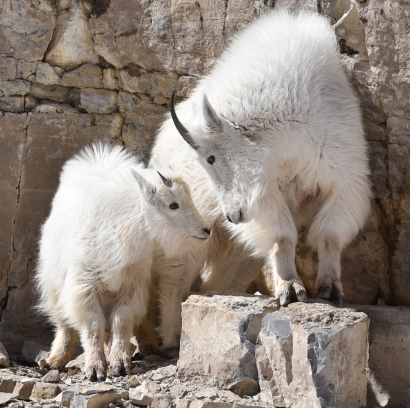 Nanny and Kid Mountain Goat