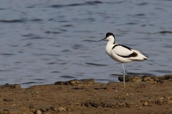 Pied Avocet (Recurvirostra avosetta) (03)