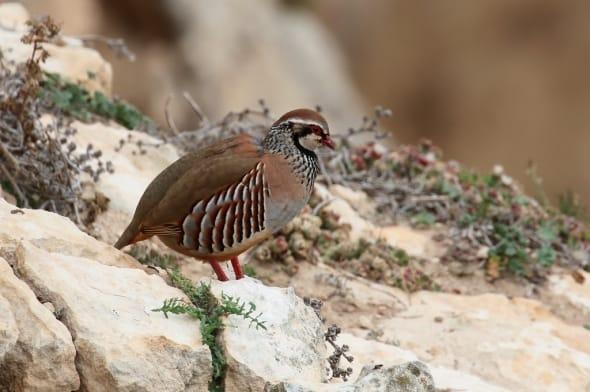 Red-legged Partridge (Alectoris rufa) (01)