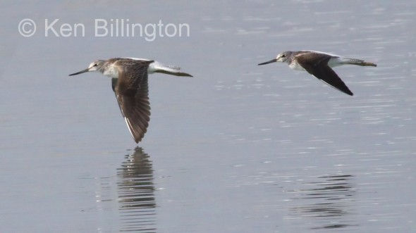Bar-tailed Godwit (Limosa lapponica) (3)
