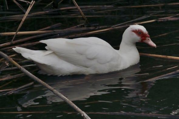 Muscovy Duck Cairina moschata (02)