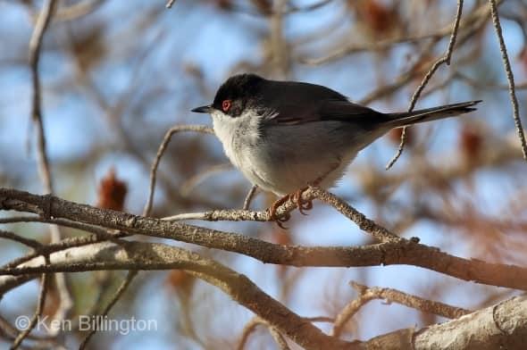 Balearic warbler (Sylvia balearica) (05)