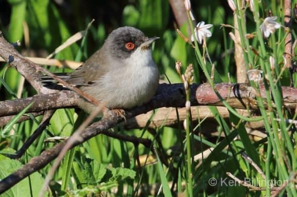 Balearic warbler (Sylvia balearica) (04)