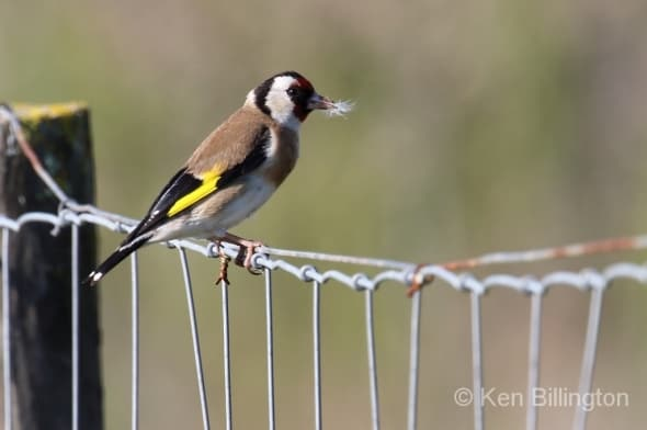 Goldfinch (Carduelis carduelis) (10)