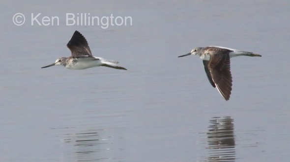 Bar-tailed Godwit (Limosa lapponica) (4)