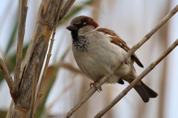House Sparrow (Passer domesticus) (18)