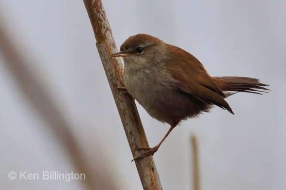 Reed Warbler (Acrocephalus scirpaceus) (08)