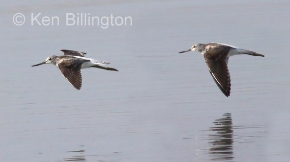 Bar-tailed Godwit (Limosa lapponica) (5)