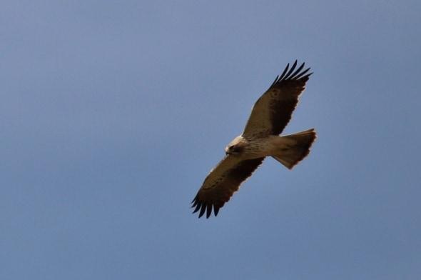 Booted Eagle (Hieraaetus pennatus) (04)