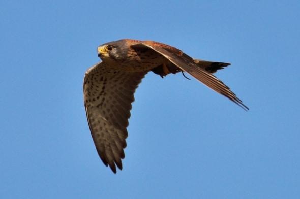 Kestrel (Falco tinnunculus) (24)