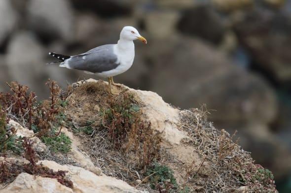 Herring Gull (Larus argentatus) (16)