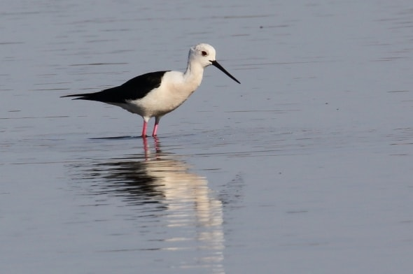 Black-Winged Stilt (Himantopus himantopus) (23)