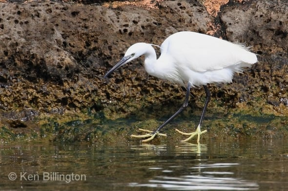 Dancing Slippers - Little Egret Egretta garzetta
