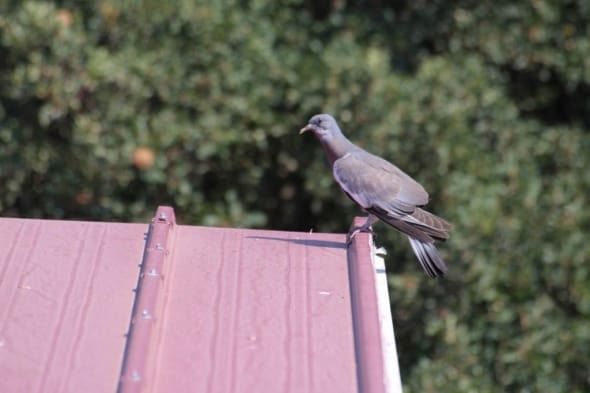 A Young Common Wood Pigeon (Columba Palumbus)