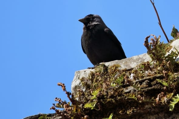Western Jackdaw Corvus monedula
