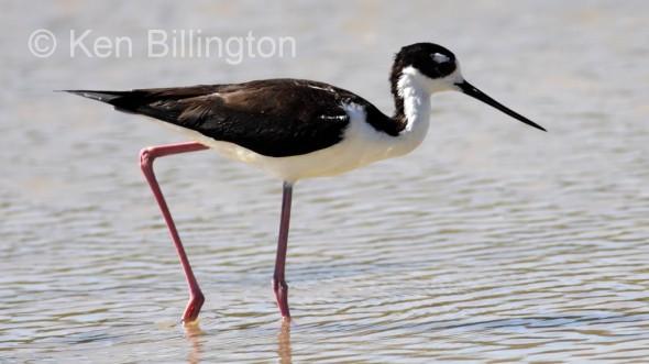 Black-necked Stilt (Himantopus mexicanus) (6)