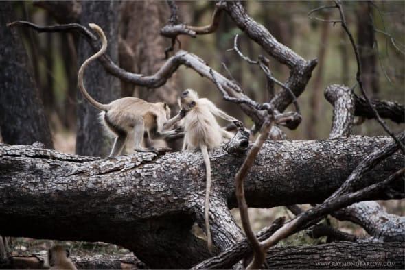 Gray Langur Monkeys in Battle