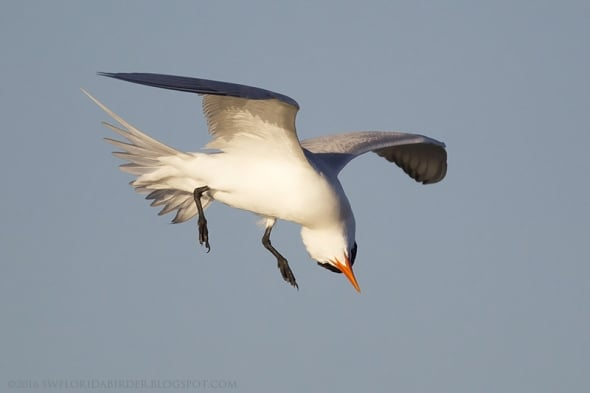 Royal Tern Flying Upside Down