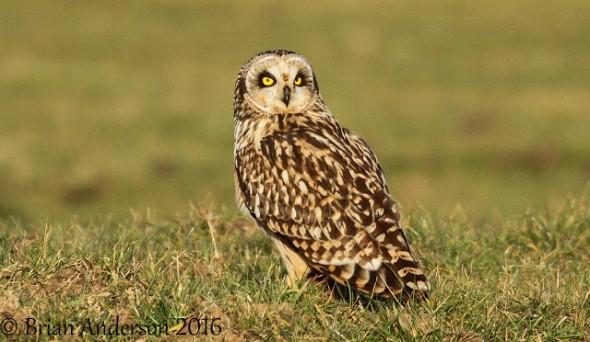 Short-eared Owl at Elmley