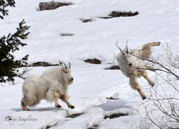 Mountain Goats Playing