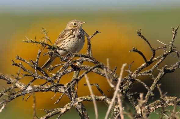 Meadow Pipit on Burnt Gorse