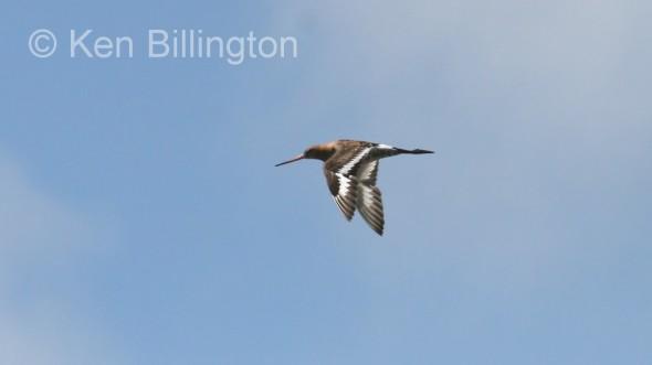 Black-tailed Godwit (Limosa limosa) (4)